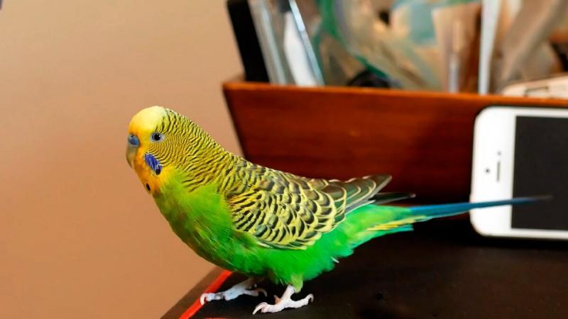 Волнистый попугай нянчил мою дочку