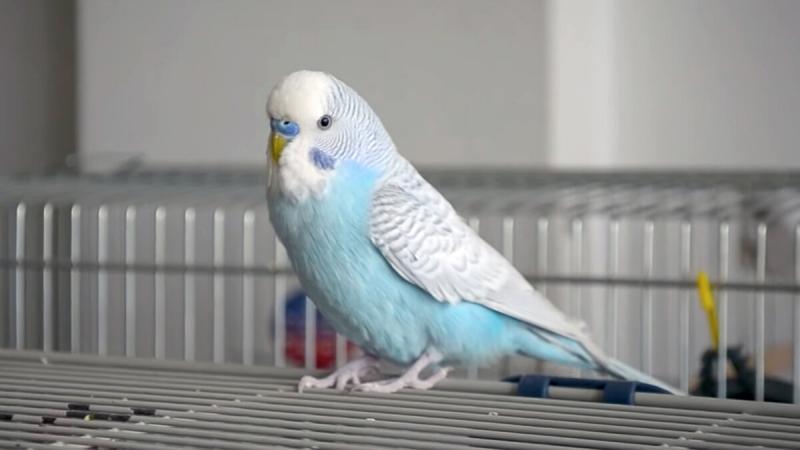 Кто виноват: попугай или мальчик? Кого отдать обратно?