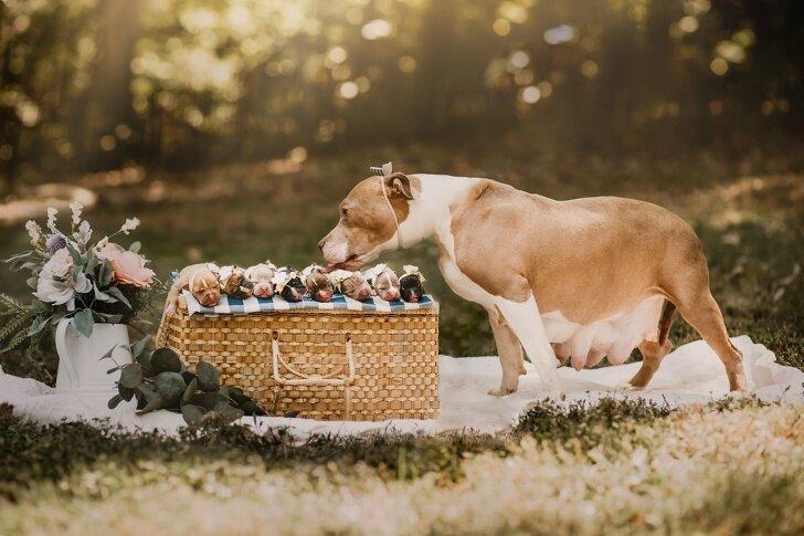 В ожидании чуда: фотосессии беременных собак :)