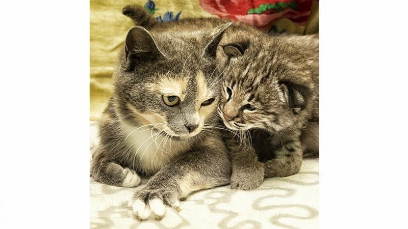 Фото дня: кошка воспитывает маленького рысенка