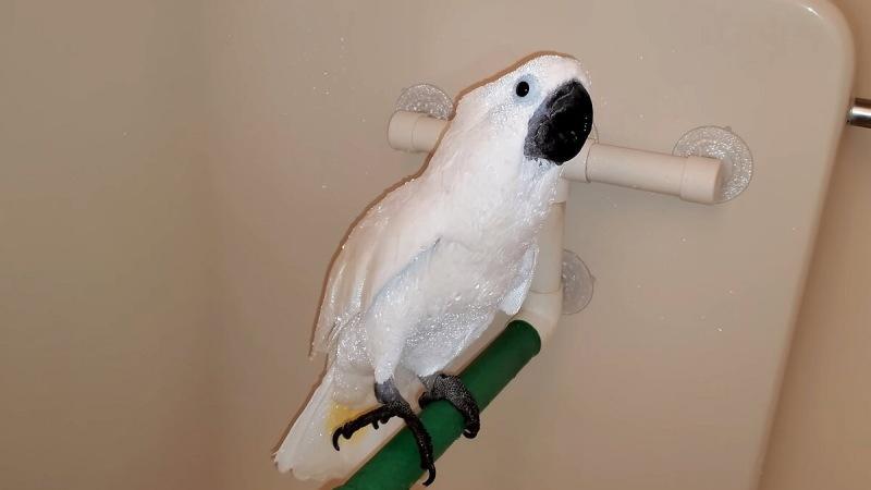 Мама сказала ребенку снять трусики. Попугай это запомнил