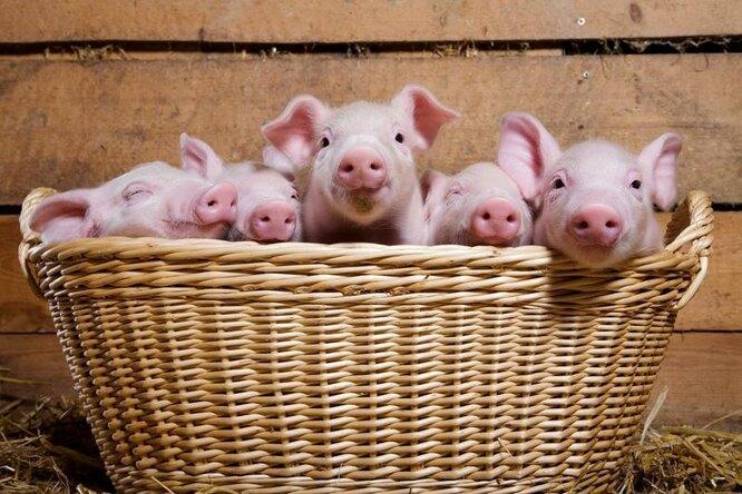 Почему мусульманам нельзя есть свинину?