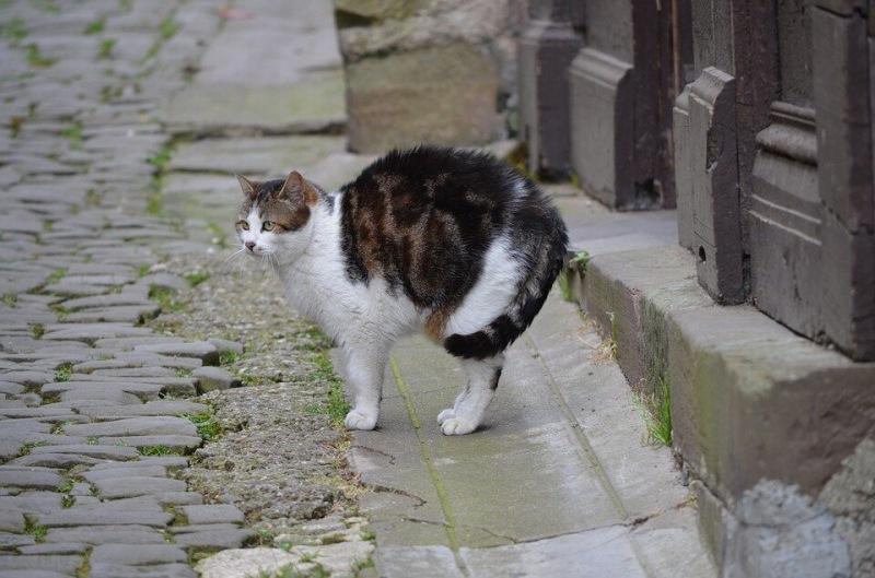 Кошка перешла дорогу: сигнализирует по цвету шерсти